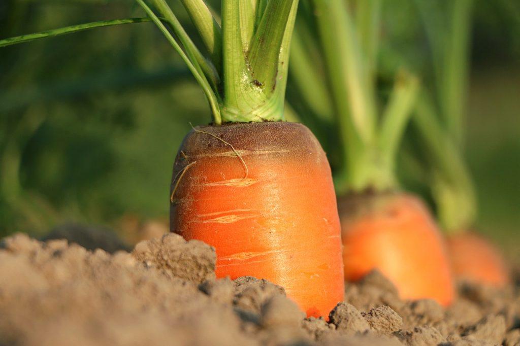 hortaliza de invierno - zanahoria