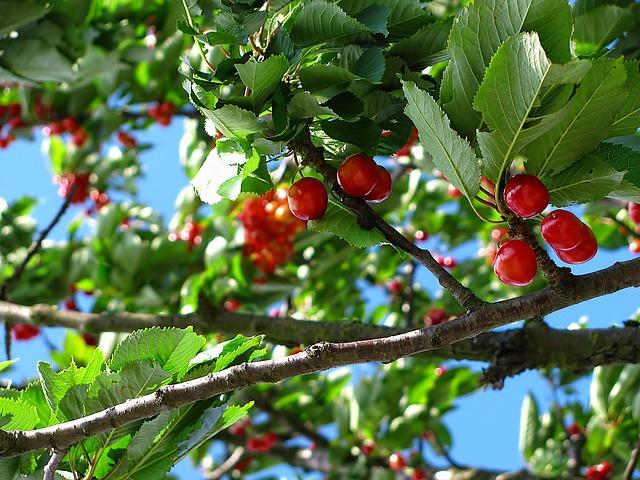 arbol frutal - cerezas