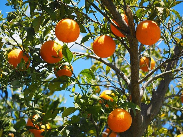 árbol frutal naranjo
