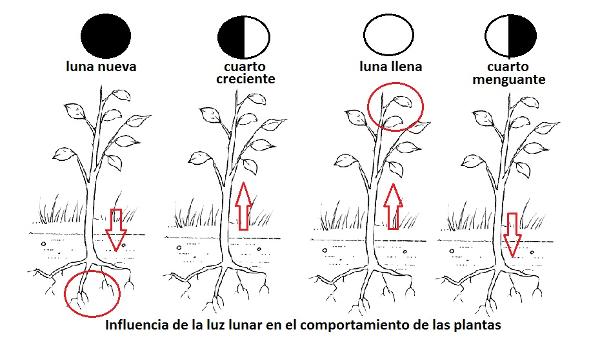 Fases de la luna en las plantas